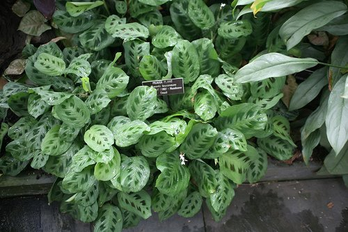 The Prayer Plant – Maranta leuconeura